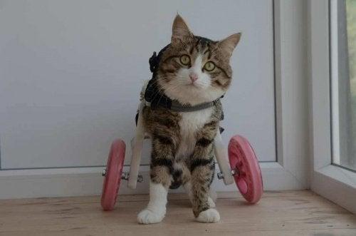 Rexie, en katt med rullstol