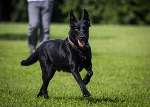 Svart hund som springer på gräsmatta.