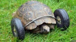 Sköldpaddan med sina proteshjul