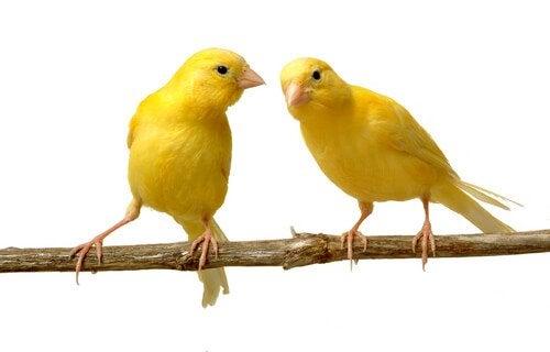 Uppfödning av kanariefåglar – allt du behöver veta