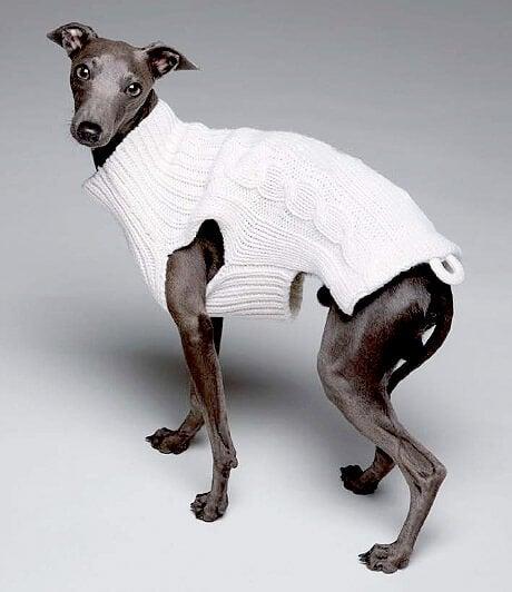 Hund med vit kofta.