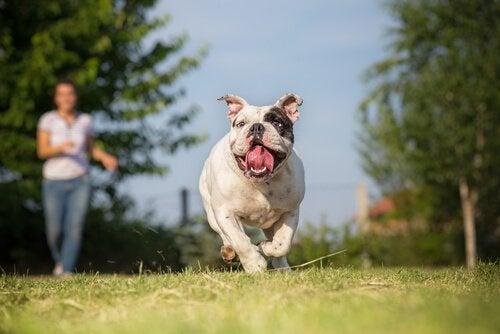 Hund som springer med ägare.