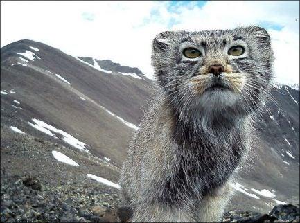 Katt med berg bakom sig