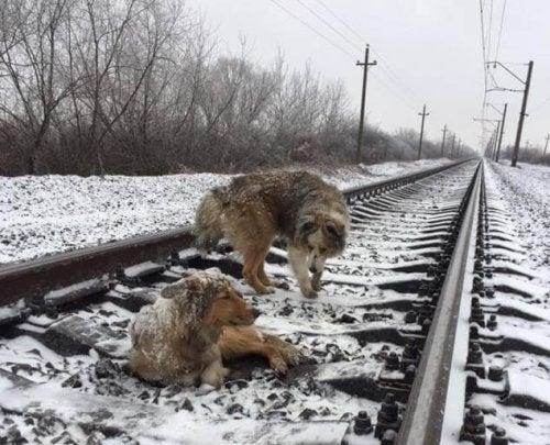 Hund skyddade sin vän mot tåget: en rörande berättelse