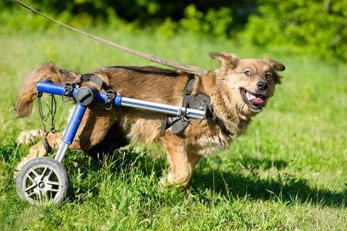 Hund i rullstol