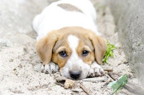 Hund ligger i sanden