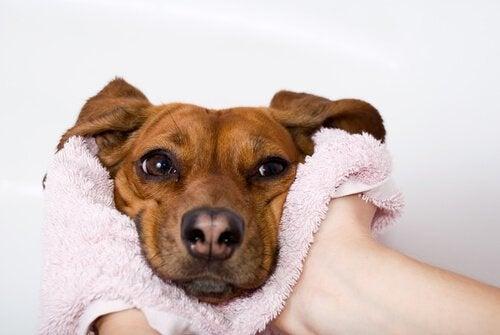 Min hund har torr nos – kan det vara ett hälsoproblem?