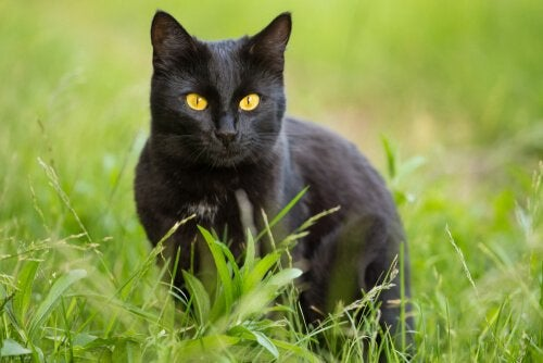 Bombaykatt: karaktärsdrag, egenheter och skötsel