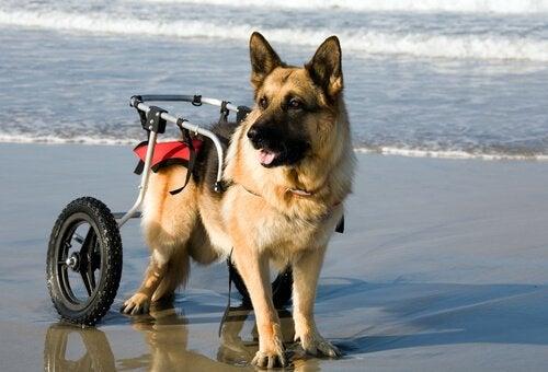 Hundar i rullstol njuter av den spanska stranden