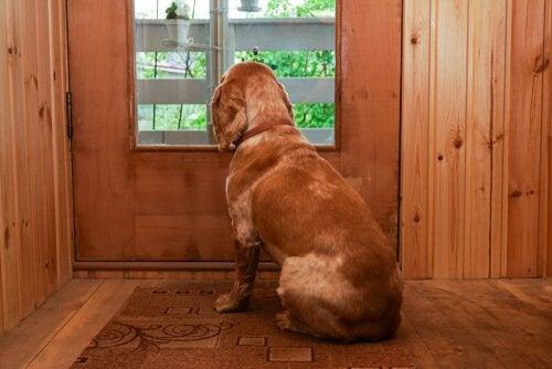 Ledsen hund vid dörren