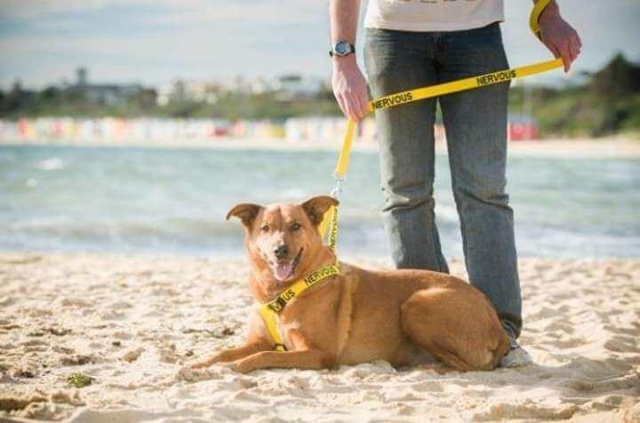 Nervös hund med gul färg på halsband och koppel
