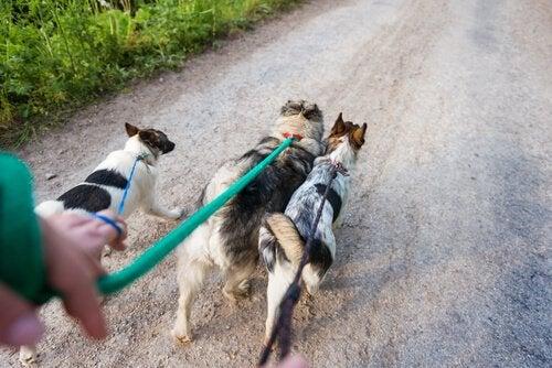 Hundpromenerare med flera hundar i rad