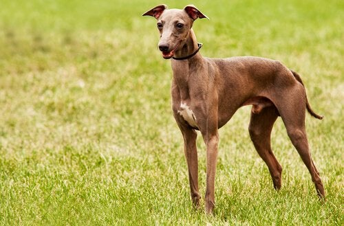 Greyhound som står på gräsmatta.