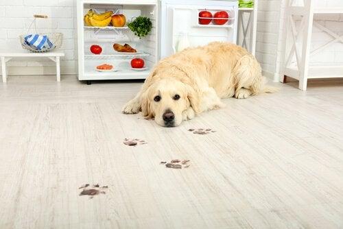 En uttråkad labrador bredvid ett kylskåp fullt av råvaror
