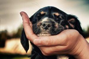 Hund med hakan i ägarens hand.