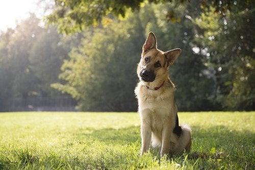 Hund som sitter på gräsmatta.