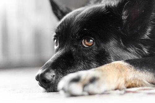 Hur ögonsjukdomen nystagmus påverkar hundar