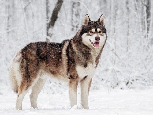 5 mycket intressanta hundraser från kalla klimat