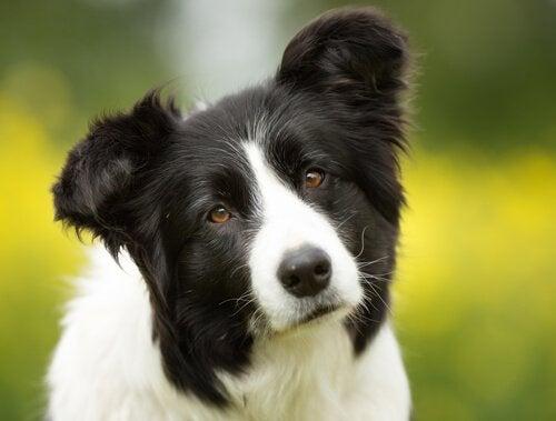 Svart och vit hund.
