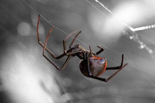Åtta av de farligaste spindlarna i världen