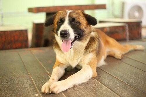 Blind hund på golvet