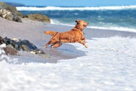 Hund springer ut i havet