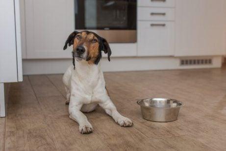 Hund bredvid en skål mat