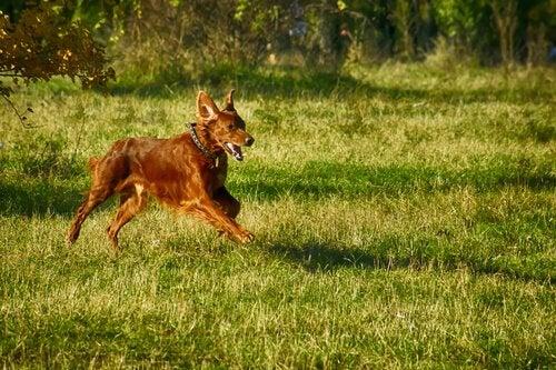 Hund springer över ett fält