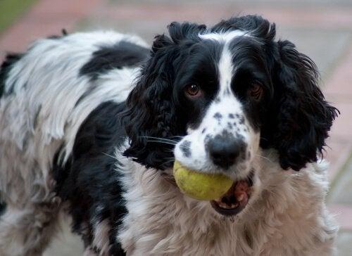 Instruktioner för hur du lär din hund att fånga en boll