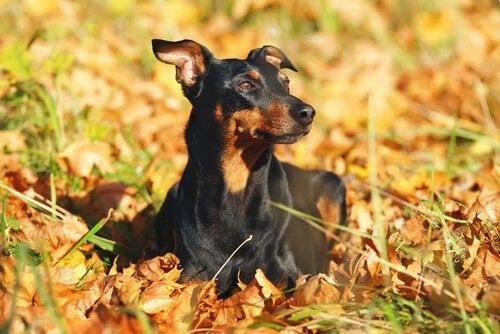 Pinscher: allt du behöver veta om denna hundras