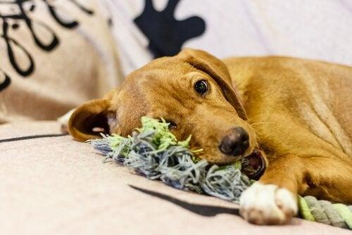 Hund tuggar på leksak