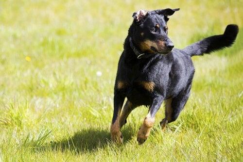 Råd för att uppfostra och träna en självständig hund