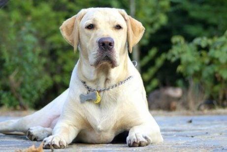 Labrador på marken