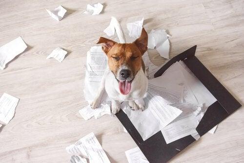 3 tips för att undvika att hunden förstör huset när du är borta