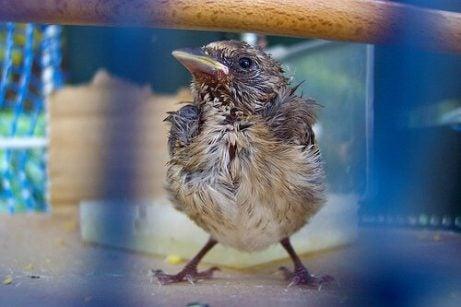 Tilltufsad fågelunge