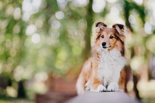 De mest intelligenta hundraserna i världen