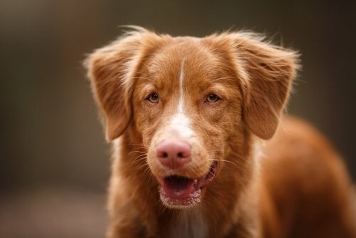 Brun hund med öppen mun.
