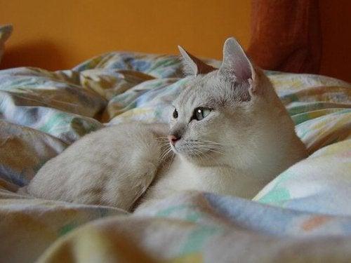 Burmillakatt i sängen