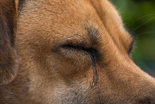 Varför får min hund tårar i ögonen?