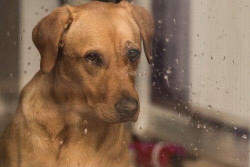Hund som sitter bakom fönstret.