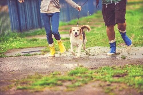 Hund som springer i regnet.