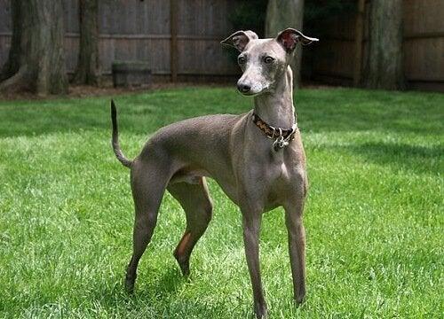 Italiensk vinthund: en liten och mycket tillgiven hund