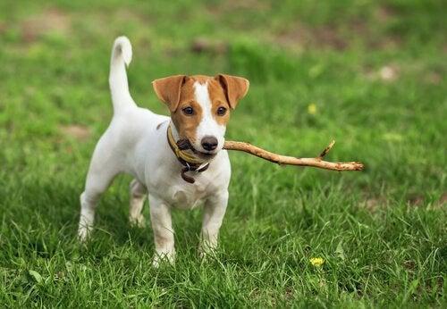Namn på korthåriga hundar