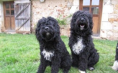 Vilka hundraser inkluderas i kategorin vattenhundar?