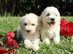 Två vattenhundar på gräs