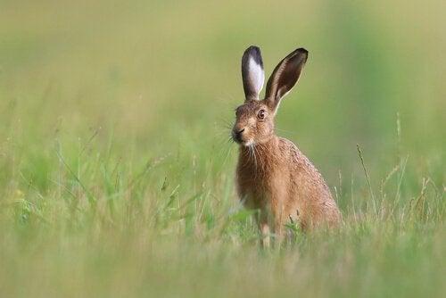 En hare sitter på en åker