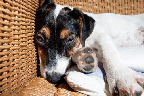 behandla meningit hos hundar