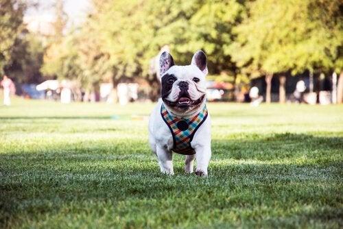 Den franska bulldoggen, en omtänksam och intelligent hund