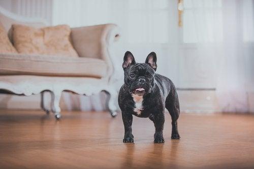 En fransk bulldogg står i vardagsrummet