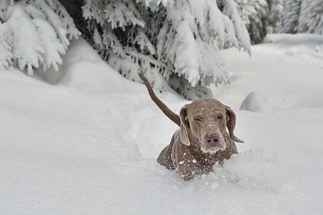 Hundraser som trivs i snö: jyckar som tar det kallt